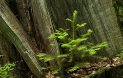 Planta de semillero spruce noruega Imágenes de archivo libres de regalías