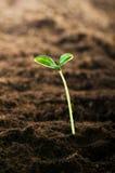 Planta de semillero verde Fotografía de archivo libre de regalías