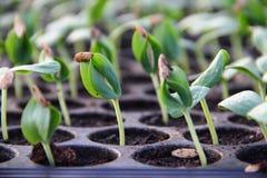 Planta de semillero verde Imagen de archivo