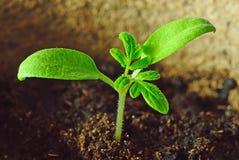 Planta de semillero verde Fotos de archivo libres de regalías