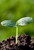 Planta de semillero verde (brote) Fotografía de archivo libre de regalías
