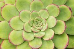 Planta de Sempervivum Fotografia de Stock