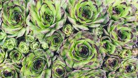 Planta de Sempervivum del color verde vivo Imagen de archivo libre de regalías