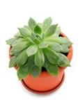Planta de Sempervivum em um potenciômetro Imagem de Stock