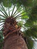 PLANTA DE /SERENOA REPENS DE LA PALMA ENANA AMERICANA foto de archivo libre de regalías