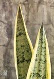 Planta de serpiente Imagen de archivo