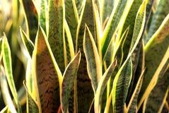 Planta de serpiente imagen de archivo libre de regalías