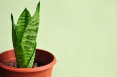Planta de serpiente joven Fotos de archivo libres de regalías