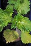 Planta de Shiso Imagen de archivo libre de regalías
