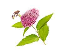 Planta de Spirea aislada en el fondo blanco Foto de archivo libre de regalías