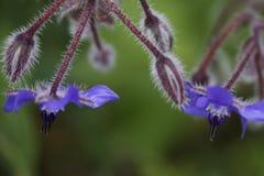 Planta de Starflower imagen de archivo