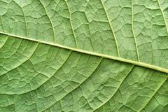 Planta de superfície da folha da textura da cor verde Fotografia de Stock