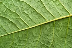 Planta de superfície da folha da textura da cor verde Imagens de Stock