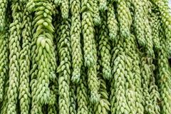 Planta de suspensão da planta carnuda da cauda do ` s do Burro Fotos de Stock