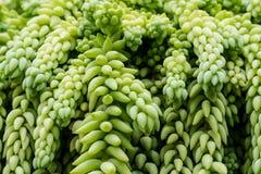 Planta de suspensão da planta carnuda da cauda do ` s do Burro Foto de Stock