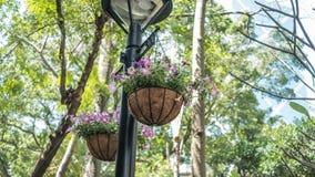 Planta de suspensão roxa genérica em um parque Fotos de Stock