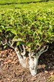 Planta de té Foto de archivo libre de regalías