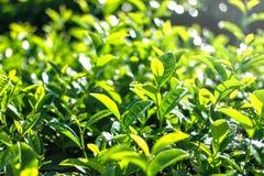 Planta de té en Chiang Rai Tailandia fotografía de archivo