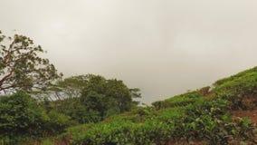 Planta de té de la fábrica del té, sin Souci, Seychelles almacen de metraje de vídeo