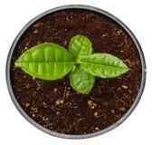 Planta de té verde Potted en crisol Fotos de archivo