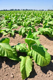Planta de tabaco Fotografia de Stock Royalty Free