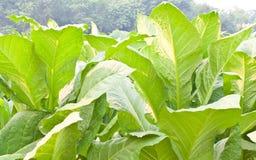 Planta de tabaco Foto de Stock Royalty Free