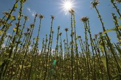Planta de tabaco con el campo de flor Tabaco floreciente foto de archivo libre de regalías