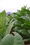 Planta de tabaco Cuba Fotografía de archivo