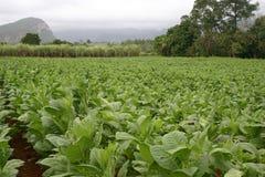 Planta de tabaco Cuba Fotos de archivo