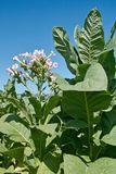 Planta de tabaco en la floración Foto de archivo