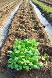 Planta de tabaco en la granja de Tailandia Fotografía de archivo libre de regalías