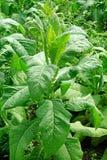 Planta de tabaco madura con las hojas verdes grandes Imagenes de archivo