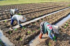 Planta de tabaco na exploração agrícola de Tailândia Imagens de Stock