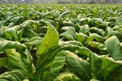 Planta de tabaco na exploração agrícola de Tailândia Fotografia de Stock