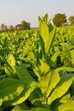 Exploração agrícola da planta de tabaco Imagem de Stock Royalty Free