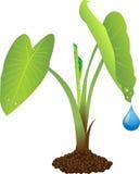 Planta de Taro Foto de Stock Royalty Free