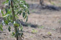 Planta de tomate Foto de Stock Royalty Free
