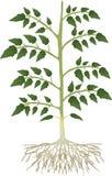 Planta de tomate Imagenes de archivo