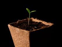 Planta de tomate Imagem de Stock Royalty Free