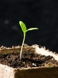Planta de tomate Imagem de Stock