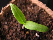 Planta de tomate Fotografia de Stock Royalty Free