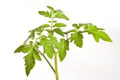 Planta de tomate fotos de stock