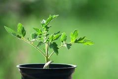 Planta de tomate Fotos de archivo
