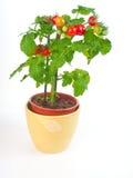 Planta de tomate Imagen de archivo