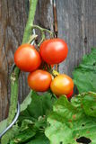 Planta de tomate afuera Fotografía de archivo libre de regalías
