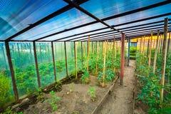 Planta de tomate Camas aumentadas en huerto Fotografía de archivo libre de regalías