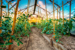 Planta de tomate Camas aumentadas en huerto Imagen de archivo libre de regalías