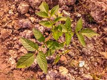 Planta de tomate en el jardín fotos de archivo