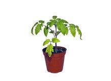Planta de tomate en un pote aislado Imagen de archivo