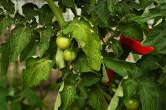 Planta de tomate fresca Imagem de Stock